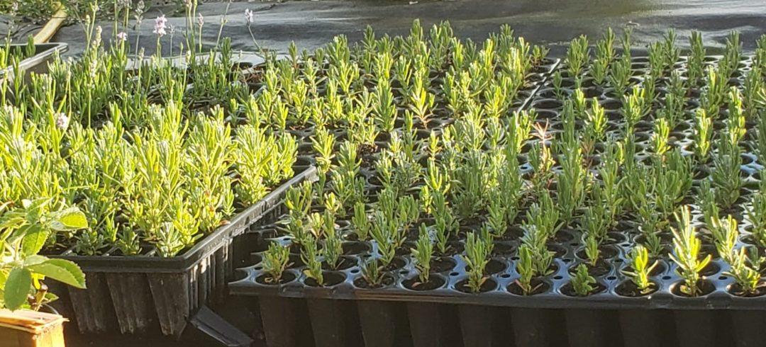 plantes aromatiques bio